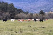 <p>Дивља говеда</p>