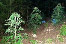 <p>На плантажи пронађено 20 садница у поодмаклој фази сазријевања</p>