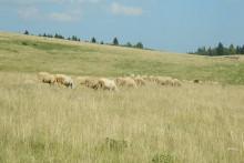<p>На Јеловици ријетко можете видјети стадо оваца</p>